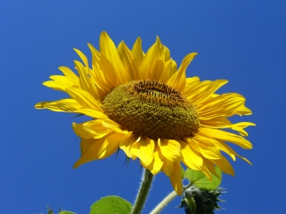 Sunflower_from_Silesia